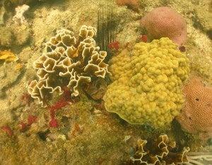 Corales F2