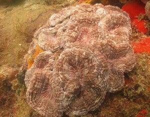 Corales F5